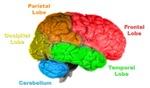 Brainanatomy